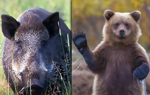 فواید وجود گراز و خرس در جنگل - word